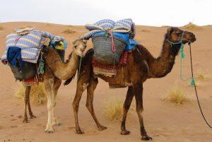 dromadaires-mohayut-maroc-désert